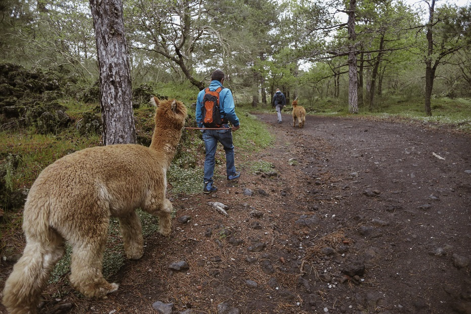 Alpacas trekking