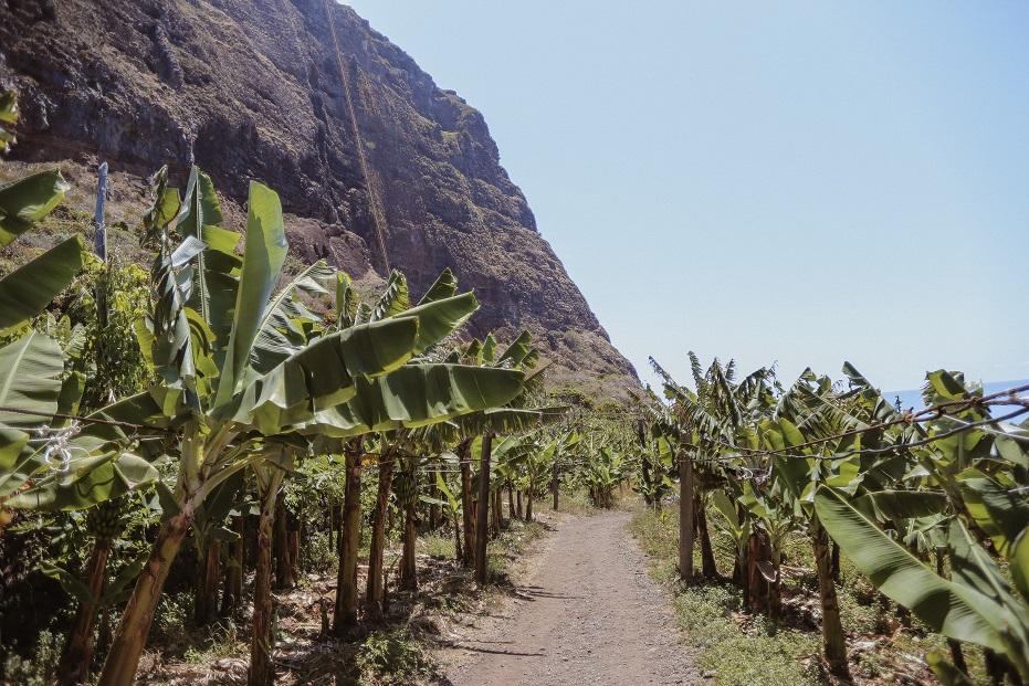 Banana plantation near Faja Dos Padres